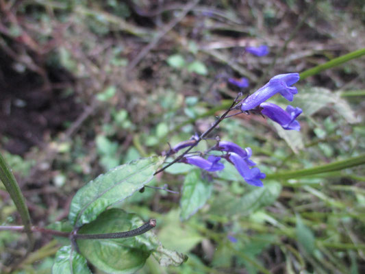 途中で林道に出合うが、そこに咲いていたセキヤノアキノチョウジ