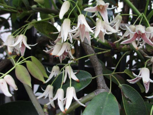 ムベの花 大きなアケビに似た実が成るが、アケビのように裂けない 何故知っていたかというと、西山の山麓の民家にこの生け垣があり、毎回通るたびに季節ごとに見ていたため