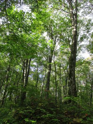 針葉樹林帯を抜けると、気持ちのいいブナ林に入っていく