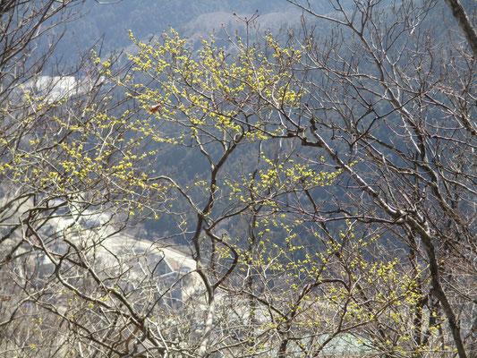 荻野高取山付近 南面のダンコウバイはすでに咲いている