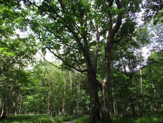 トチ、ミズナラ、そしてドロノキなどの巨木がそこかしこにあります
