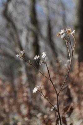 キク科の植物のガクでしょうか こうした造形をとても美しいと感じます