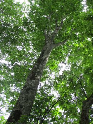 ビルよりも大きなブナ 一粒の実からこんなになるとは…!人間には葉っぱの一枚も造れない…