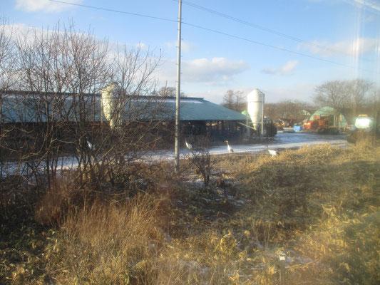 釧路湿原も北側に近づく茅沼駅付近に丹頂を見る広場を設けている この写真は茅沼〜標茶(しべちゃ)間にある酪農家の施設内を勝手に歩いている丹頂