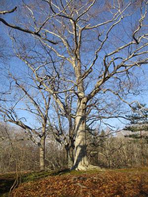 小沼には大きなブナの木がありました