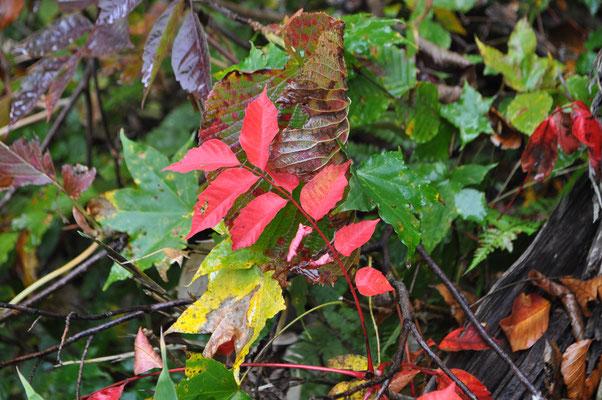 秋色の下山11 これはウルシでしょう 真っ赤!