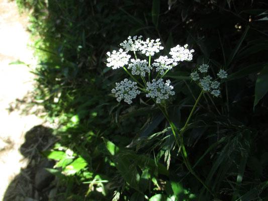 シラネニンジン この花がどこでも一番目立っていました