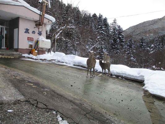 駐車場に着くと、すでにシカ達のお出迎えの「鹿の谷」温泉