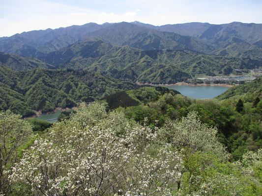 中心に蛭ヶ岳をピークに丹沢の主脈が見渡せます 手前に白く花のように見えるのはコナラの若葉 産毛が生えた柔らかい葉は銀色に輝きます