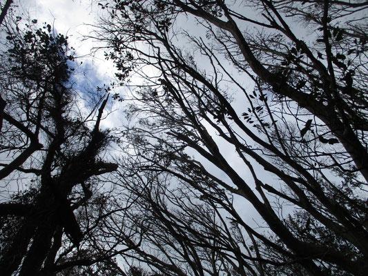 空もスカスカの幹越しに見える 鬱蒼としている〜という常緑樹の森とは程遠い様子