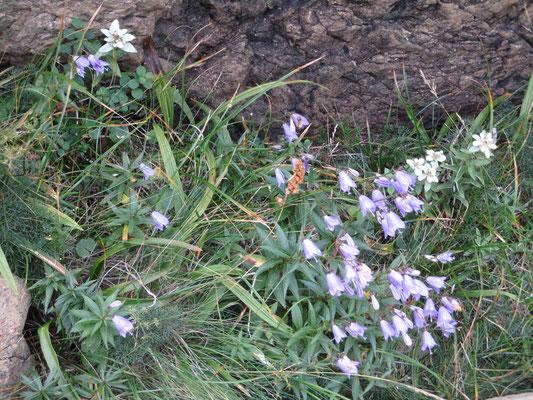 ヒメシャジンの花にミネウスユキソウ