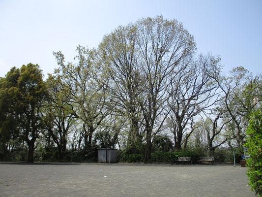 スケッチをした公園の大きなコナラ 4月3日