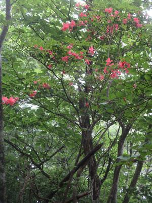 登山道に赤い落花 見上げるとヤマツツジがまだ咲いていた