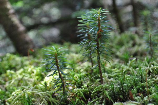 苔に芽生える針葉樹