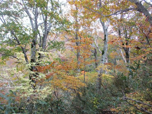 色とりどりの黄葉 うすい白蝋のような黄葉はメグスリノキでは?