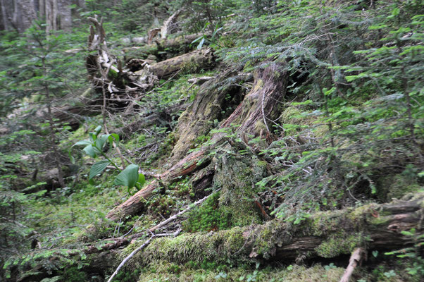 苔むした倒木