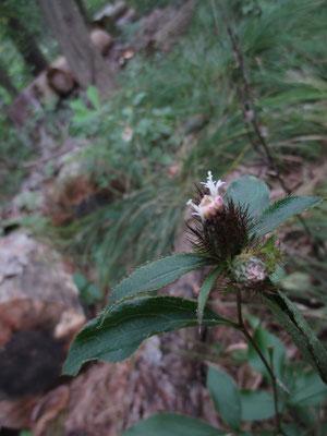 とても不思議に思ったが、オケラの咲き始めだった