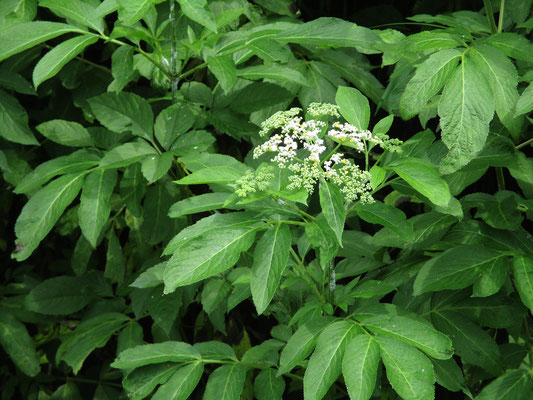 Wさん曰く「始めセイヨウニワトコでは?と思ったが、クサニワトコだった 外来種ではなく在来種が繁茂していて嬉しかった」 確かに!
