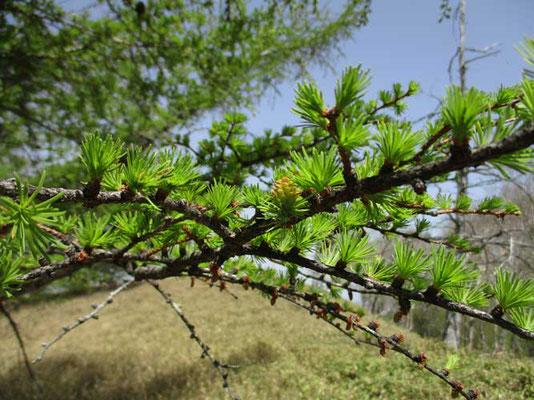 カラマツの新緑と赤くちょっぴり色が入って見える雌花