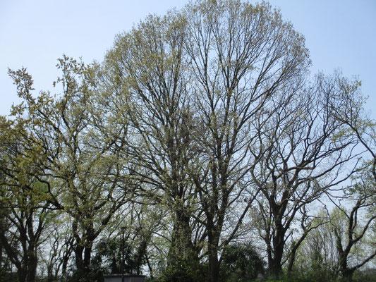 朝、ラジオ体操をやっている人もいる大きな公園 そこには見上げるほどのミズナラの木がある