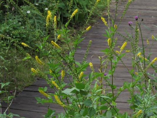 キンミズヒキ この花も優雅な名前とともに秋そのもの