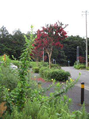 7月下旬には花盛りだった百日紅も、今はもう種になっている