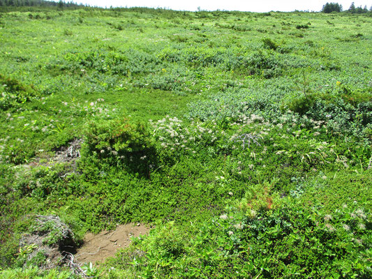 浄土平に下りる手前にチングルマの群落 今は種になっていますが、花期には一面白い花でいっぱいだったことでしょう