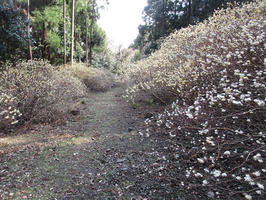 年々見事に咲くミツマタを、採石工事に反対していた「西山を守る会」が逆手に取って『ミツマタ桃源郷』とうたって宣伝し、今では地域のみならずあちこちで評判の花の名所となっている