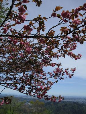 高取山の八重桜
