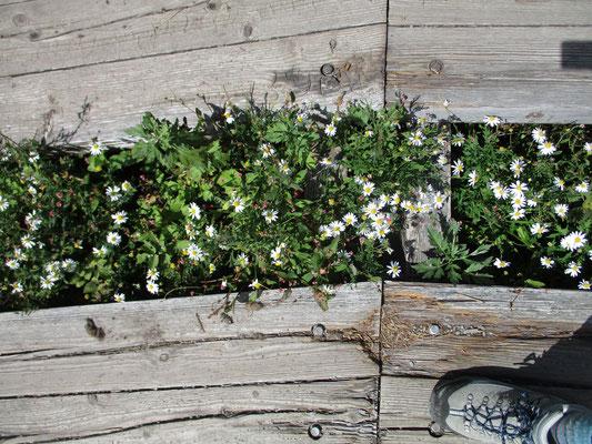木道の間のお花畑