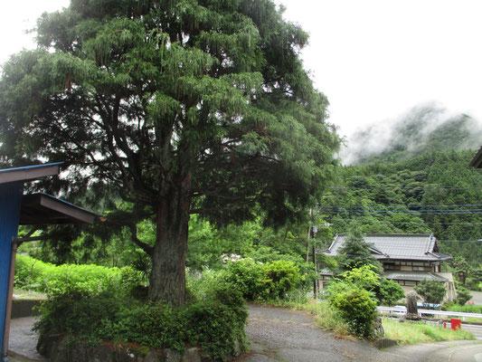 大栗の登山口にあるお宅にはこんな大きな杉の木が立っている