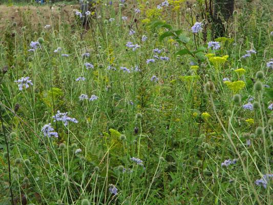 マツムシソウがたくさん咲いていると、それだけで嬉しい 薄紫とオミナエシの黄色の対比が美しい