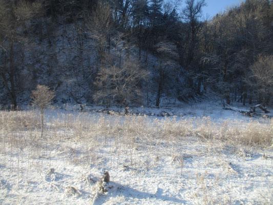 ススキも凍って白くなり輝いている