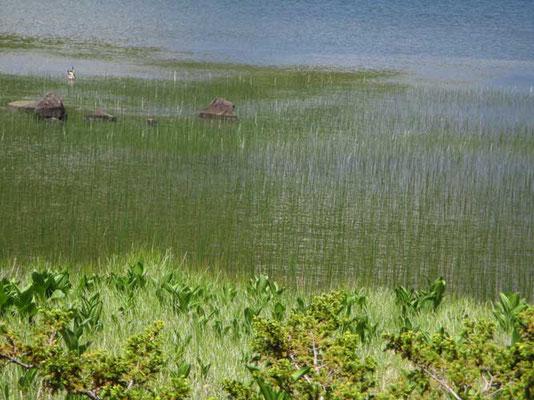 水辺にはミヤマホタルイ?(カヤツリグサ科)が細く林立し、風を受けると波のように銀色に輝く様がとても美しかったです