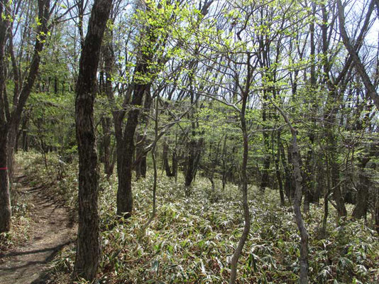 クマザサと若葉の林 部分的にこのクマザサが広範囲で枯れていました 花の咲く周期だったのでしょうか??