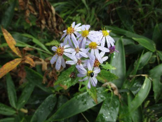 中心の頭花がよく分かる 薄紫の部分は舌状花 輝く甲虫もやってきて露もきれいなノコンギク