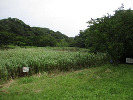 公園内の池 アシが繁茂している