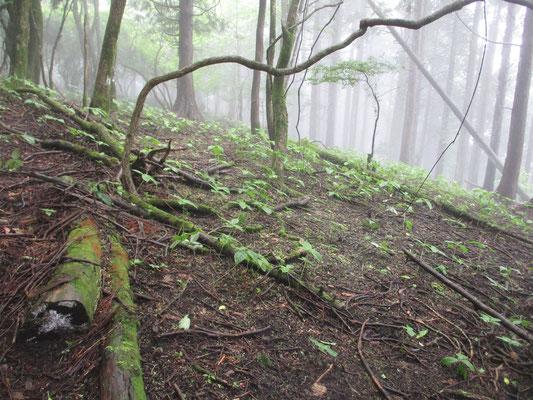 林床にはフタリシズカがいっぱい