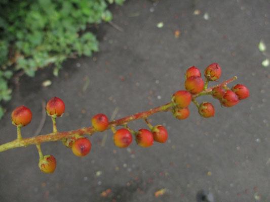 緑からすでに赤くなっている実が落ちていた