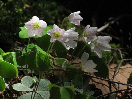 蕾のときは白く見えますが、花開くと花弁のピンクのラインが目立ちうっすらと染まって見えます