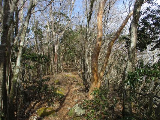 稜線をずっと辿っていくとアセビの林が落葉樹になり、ヒメシャラの木が現れました
