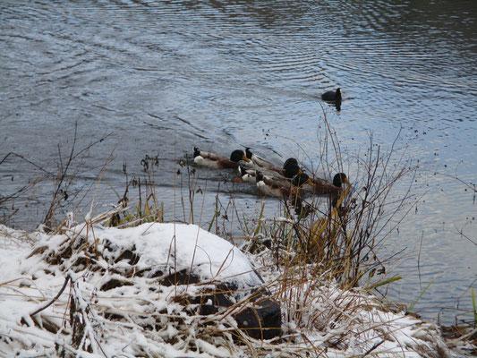 登山口の池にはマガモが居て、エサをくれると思い寄ってくる