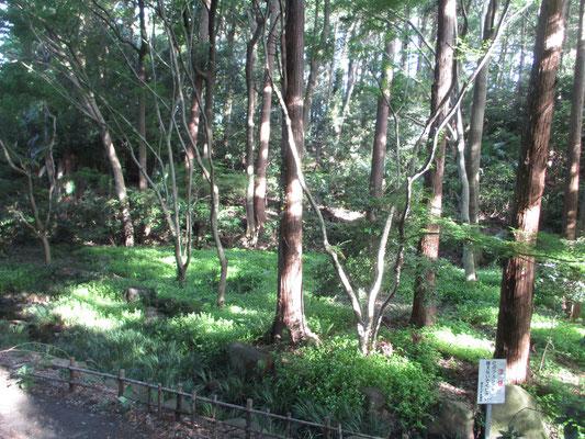 林床に一面、このトキワツユクサで埋められている ここは水源でもあるし湿った場所を好むのだろう