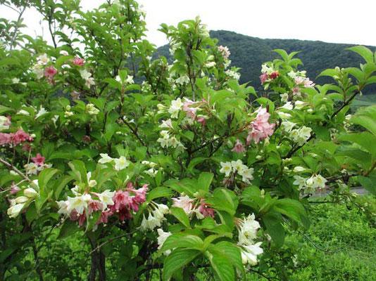 ニシキウツギ 二色のウツギということですが、これも色が変化していく花