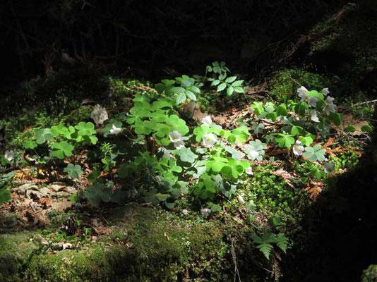 帰りにそこだけスポットライトを照らしたように木漏れ日を受けて花開いていたミヤマカタバミ