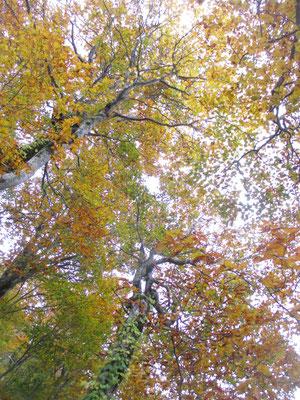 まだ森のなかでは空が明るく、見上げる黄葉も輝いていた