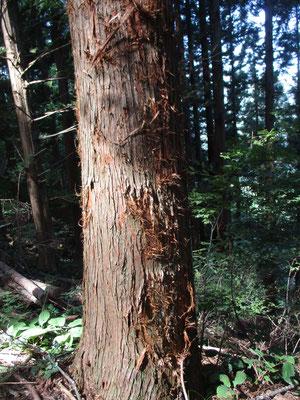 杉の木肌が引っかきだらけ 多分ムササビやリスなどの小動物の巣材として使われたのでしょう