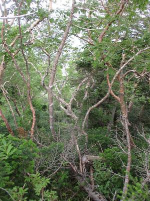 ダケカンバなどが混ざる森に出たりします 植生の変化に富んでいて登り下りもそれなりに面白いものです