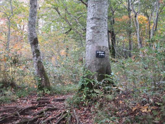 大きなブナの木に「山頂まで2.3km」