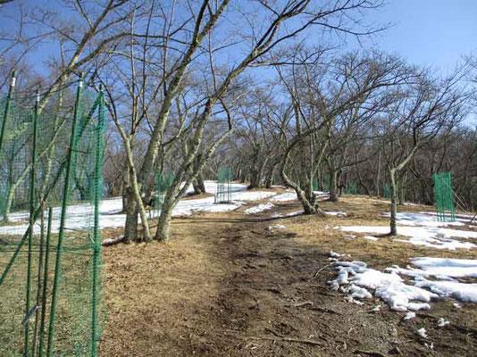 この山は桜山として有名 山頂部も沢山の桜が植えられています